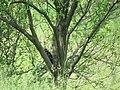 Dryocopus martius, Djerdap NP, Srbija (80).jpg