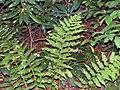 Dryopteris goldiana 1zz.jpg
