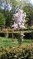 Drzewko Wiśni w Arboretum w Raciborzu.jpg