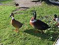 Ducks (2223933000).jpg