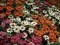 Dwarf Zinnia from Lalbagh flower show Aug 2013 8247.JPG