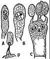 EB1911 Fungi - Armillaria mellea.jpg