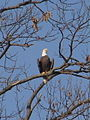Eagle in Chippokes Plantation State Park.jpg