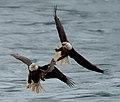Eagles conowingo (17272715414).jpg