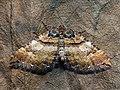 Earophila badiata - Shoulder stripe - Ларенция розанная (40232218304).jpg
