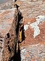 Eastern Cape Crag Lizard (Pseudocordylus microlepidotus fasciatus) (29672307183).jpg