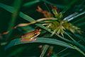 Eastern Dwarf Tree Frog (Litoria fallax) (9935699084).jpg
