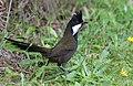 Eastern Whipbird.jpg