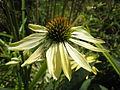 Echinacea sunrise-flower PNr°0210.JPG