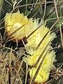 Echinocactus platyacanthus (Eze) flowers.jpg