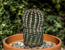 A color picture of a green cactus with white and tan spines