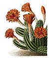 Echinocereus scheeri pm.jpg