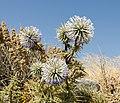 Echinops spinosissimus - Santorini - Greece - 03.jpg