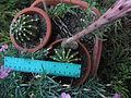 Echinopsis cactus 08.JPG
