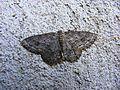 Ectropis crepuscularia - Zackenbindiger Rindenspanner.jpg