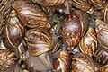 Edible Snail.jpg