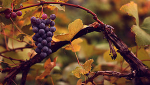 Vitis vinifera - A cultivated Common Grape Vine, Vitis vinifera subsp. vinifera