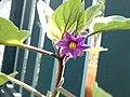 Egg Plant Flower (aubergine).jpg