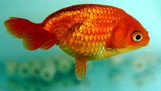 Egg-fish goldfish - Image: Eggfish
