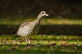 Egyptian Geese walking.jpg