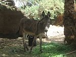 Egyptian donkey (2428011421).jpg