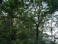 Elaeocarpus sp. (16282970921).jpg