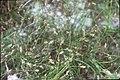Eleocharis acicularis inflorescence (01).jpg