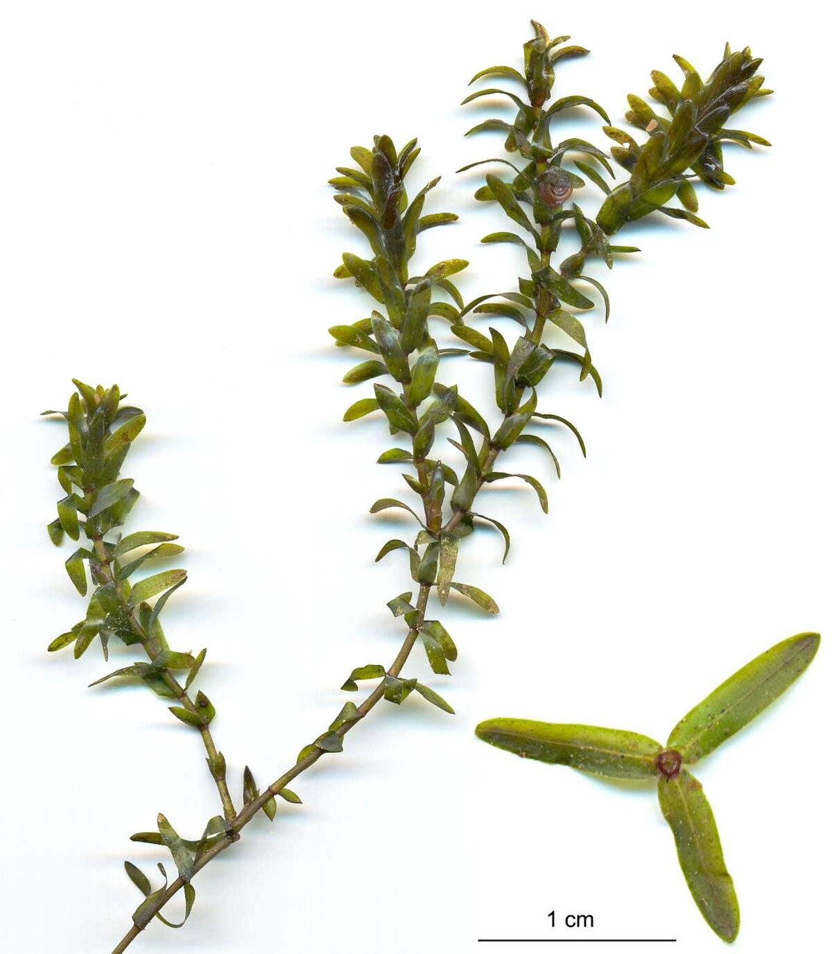 Photosynthesis pondweed elodea sp