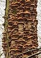 Elzeweerschijnzwam (Inonotus radiatus). Locatie, De Alde Feanen in Friesland 02.jpg
