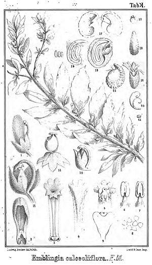 Emblingia - Image: Emblingia calceoliflora