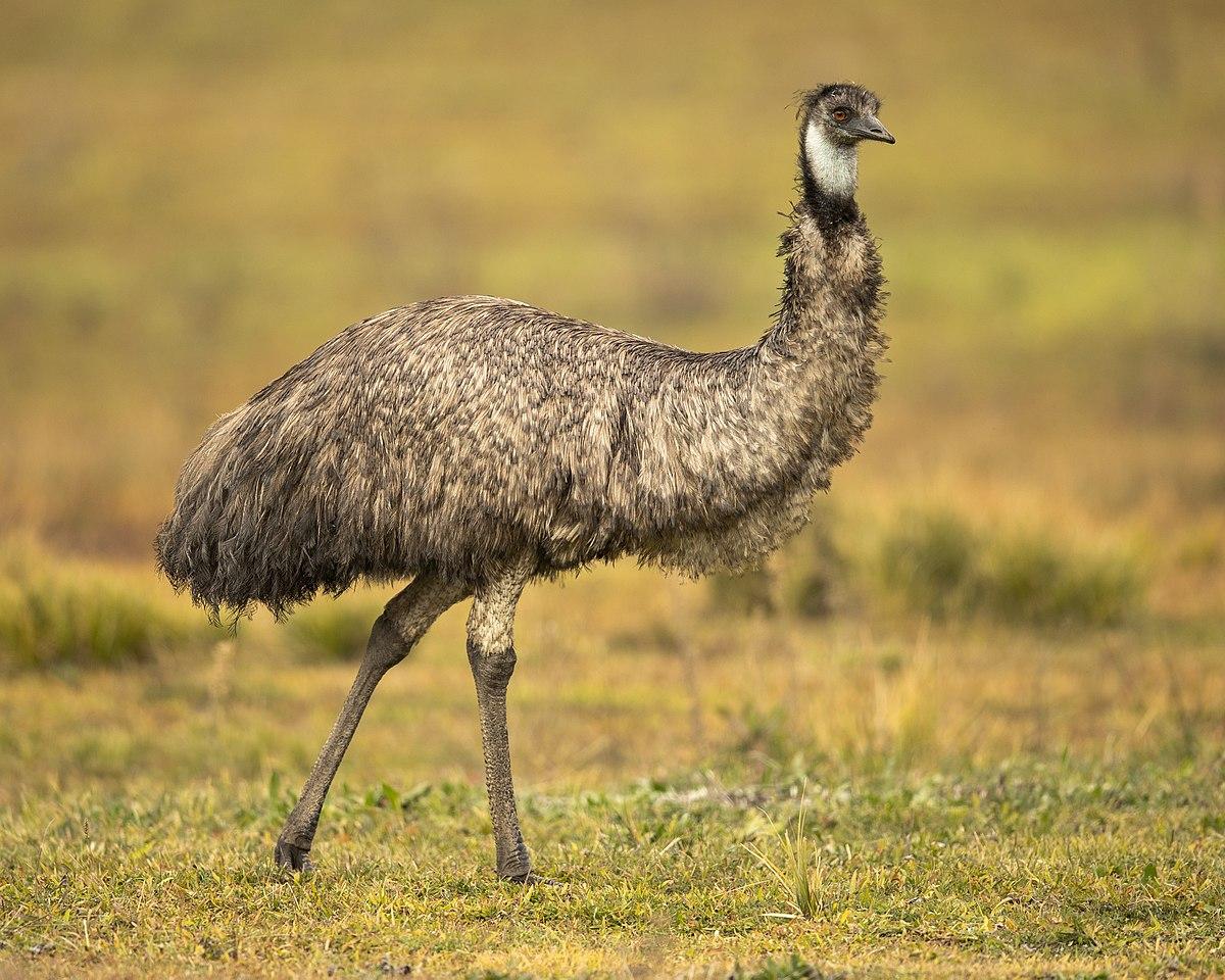 Emu - Wikipedia