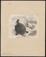 Emys europaea - 1700-1880 - Print - Iconographia Zoologica - Special Collections University of Amsterdam - UBA01 IZ11600121.tif