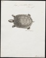 Emys punctata - 1700-1880 - Print - Iconographia Zoologica - Special Collections University of Amsterdam - UBA01 IZ11600105.tif