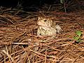 Endangered Houston toad (Bufo houstonensis)1.jpg