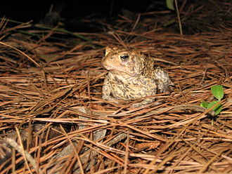 East Central Texas forests - The Houston Toad is an endangered species endemic to the East Central Texas forests.