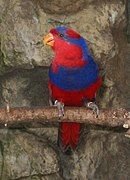 A red parrot with a blue chest, nape, and forehead