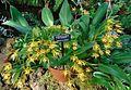 Epidendrum oerstedii 2.jpg