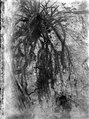 Epifytiskt växande lummer.(Finns pressad.). Modajag. Indonesien - SMVK - 022133.tif