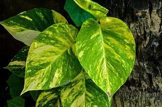 Epipremnum aureum - Epipremnum aureum (Cultivar: Golden Queen)