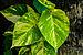 Epipremnum aureum 31082012.jpg