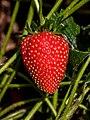 Erdbeere IMG 8052.jpg