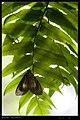 Erebidae (14632408558).jpg