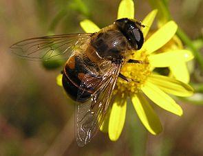Mistbiene (Eristalis tenax), ♀