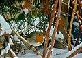 Erithacus rubecula 106376098.jpg