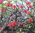 Erythrina speciosa 1.jpg