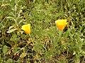 Eschscholzia californica (El Paso) 02.jpg