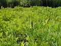 Eschscholzia californica 2017-05-23 1295.jpg