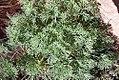 Eschscholzia californica mexicana 0zz.jpg