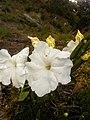 Escobedia grandiflora.jpg