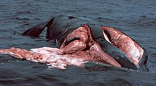 Photo of dead whale, floating on surface
